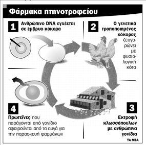 Μεταλλαγμένες κότες με  αυγά κατά του καρκίνου! | tanea.gr