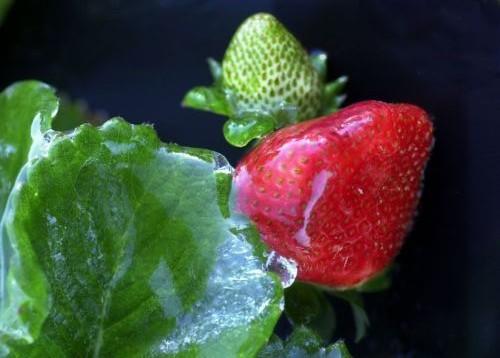 «Φάρμακο» οι φράουλες για το στομάχι   tanea.gr