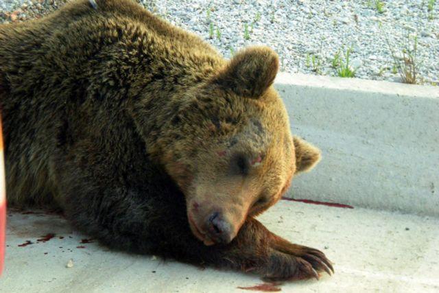 Φλώρινα: Μια ακόμη νεκρή αρκούδα από τροχαίο | tanea.gr