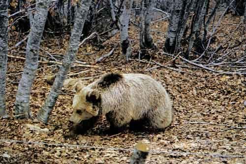 Καστοριά: Κτηνοτρόφος απείλησε να αυτοκτονήσει λόγω ...αρκούδας | tanea.gr