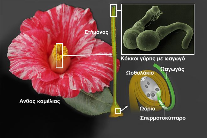 Η καμέλια εκσπερματώνει όπως ο άνθρωπος, ανακάλυψαν οι επιστήμονες | tanea.gr