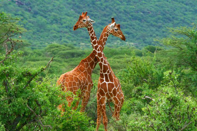 Ρινόκεροι και καμηλοπαρδάλεις ζούσαν στη Δράμα πριν εννέα εκατομμύρια χρόνια   tanea.gr