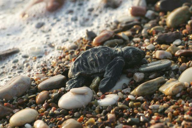 O ακήρυκτος πόλεμος της χελώνας στην Κυπαρισσία   tanea.gr