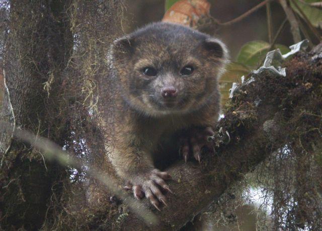 Aνακαλύφθηκε νέο θηλαστικό, που ζει στην Κολομβία και στον Ισημερινό | tanea.gr