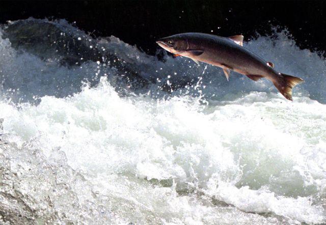 Ο ψαράς που σώζει τους σολομούς | tanea.gr