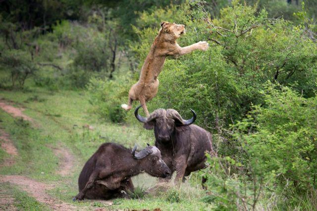 [Κλικ] Λιοντάρι σε... πτήση | tanea.gr