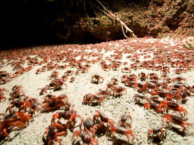 Κόκκινο «χαλί» στο Νησί των Χριστουγέννων   tanea.gr
