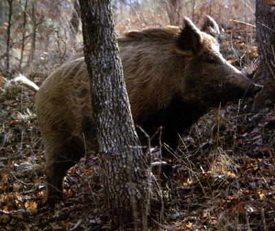 Λάρισα: Αγριογούρουνο επιτέθηκε σε 45χρονο κυνηγό και τον τραυμάτισε | tanea.gr