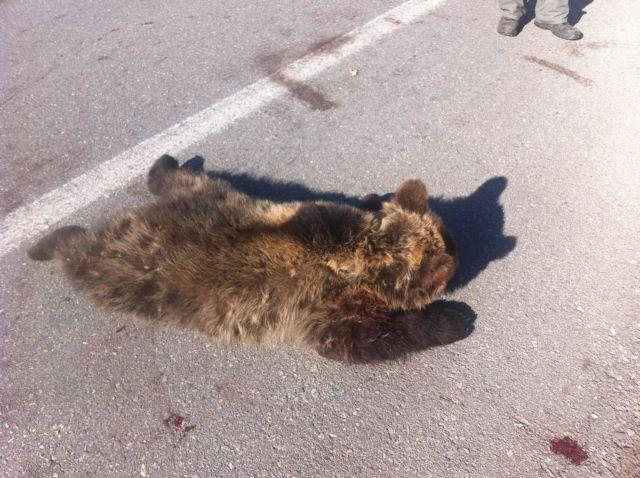 Στην κτηνιατρική κλινική του ΑΠΘ μεταφέρθηκε το τραυματισμένο αρκουδάκι από το Μέτσοβο   tanea.gr