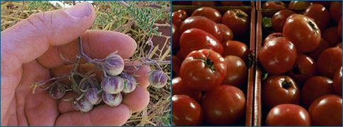 Πώς οι Αζτέκοι δημιούργησαν τη σημερινή ντομάτα | tanea.gr
