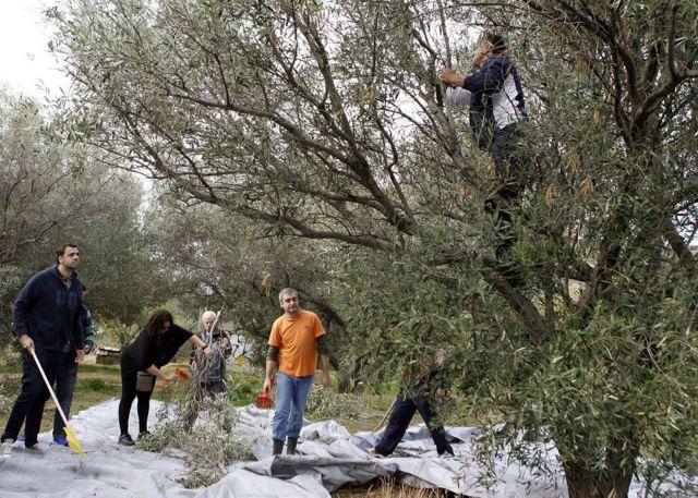 Γλυφάδα: Ο δήμος προσφέρει το λάδι από τις ελιές του σε όσους το έχουν ανάγκη!   tanea.gr