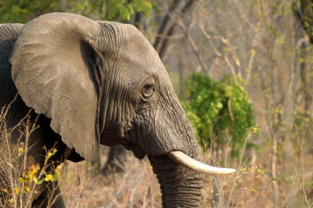 Ζιμπάμπουε: Δηλητηρίασαν με κυάνιο 22 ελέφαντες   tanea.gr