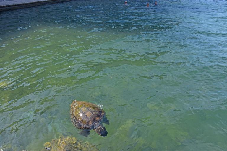 Χτυπημένη στο κεφάλι χελώνα επέπλεε ανάμεσα σε λουόμενους στο Ναύπλιο | tanea.gr