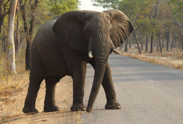 Οι αφρικανικοί ελέφαντες βαίνουν προς εξαφάνιση | tanea.gr