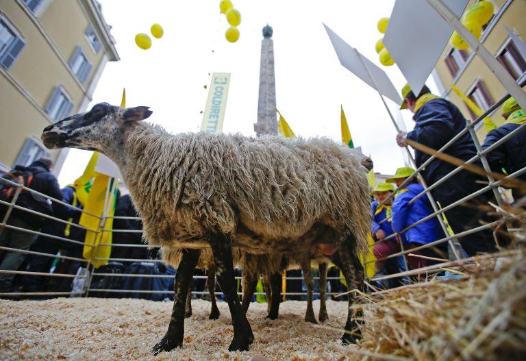 Διαδήλωση με πρόβατα έξω από το ιταλικό κοινοβούλιο | tanea.gr