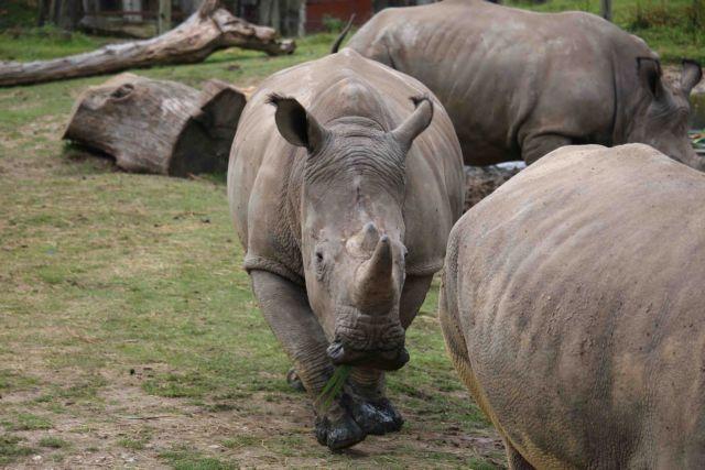 Σκότωσαν νεαρό ρινόκερο σε ζωολογικό κήπο της Γαλλίας   tanea.gr