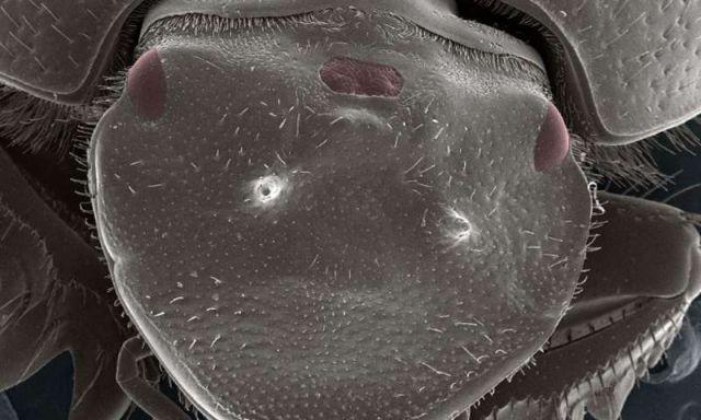 Επιστήμονες δημιούργησαν σκαθάρι με τρίτο μάτι | tanea.gr
