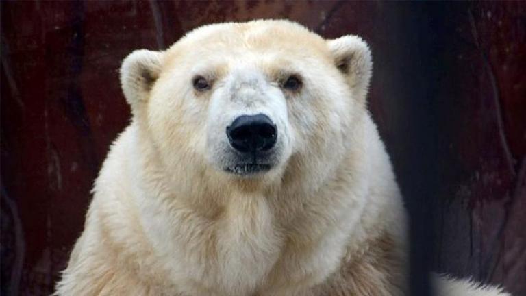 Πέθανε η γηραιότερη λευκή αρκούδα της Ρωσίας   tanea.gr