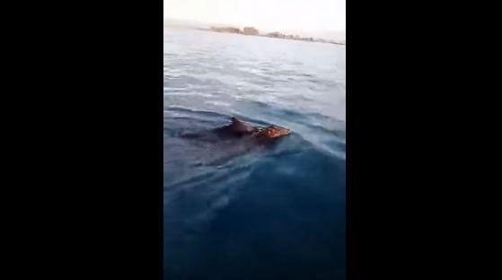 Ψαράδες βρήκαν αγριογούρουνα να κολυμπούν στο Ιόνιο! (βίντεο)   tanea.gr