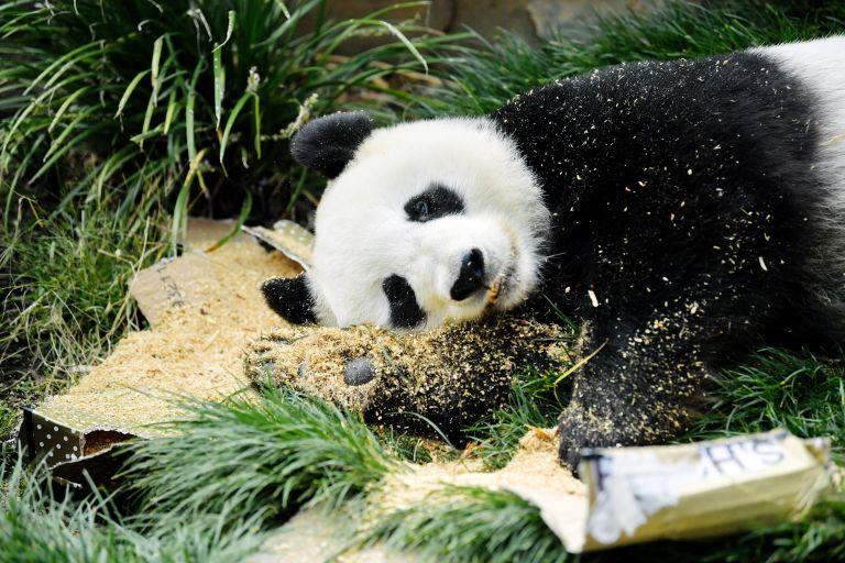 Δύο γιγαντιαία αρσενικά πάντα επέστρεψαν στην Κίνα | tanea.gr