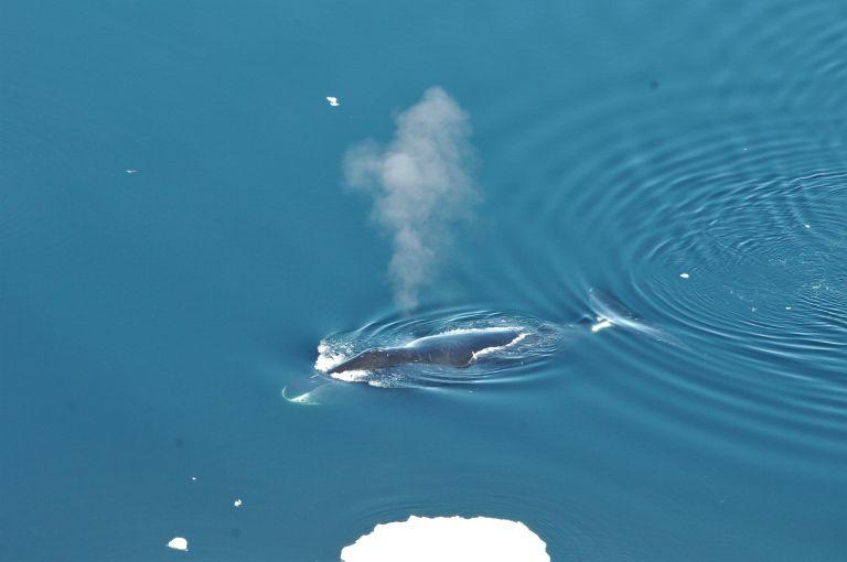 Η τοξοκέφαλη φάλαινα είναι ο «Louis Armstrong» των ωκεανών   tanea.gr