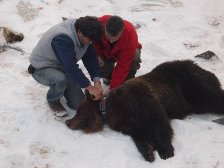 Αρχισε τις βόλτες η Χριστίνα – Η αρκούδα που διασώθηκε τα Χριστούγεννα | tanea.gr