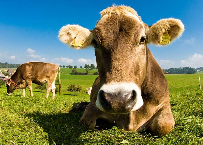 Η αγελάδα θα γίνει το μεγαλύτερο θηλαστικό ζώο στον πλανήτη | tanea.gr