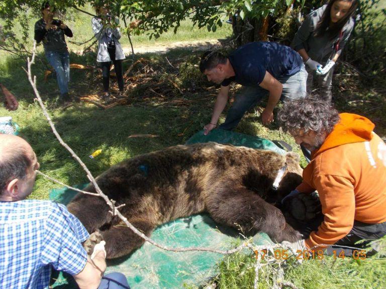 Η Καλλιστώ «επικοινωνεί» με αρκούδες του Αμυνταίου! | tanea.gr
