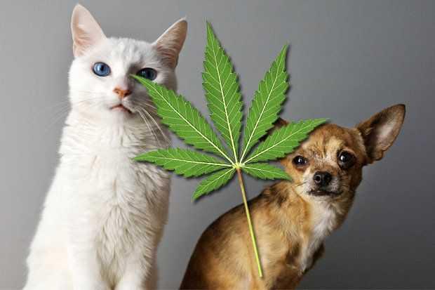 Υπάρχουν οφέλη από τη χρήση της φαρμακευτικής κάνναβης στα ζώα συντροφιάς | tanea.gr