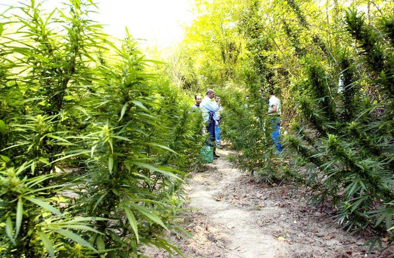 Ρέθυμνο: 15 φυτείες με πάνω από 3.000 δενδρύλλια κάνναβης | tanea.gr