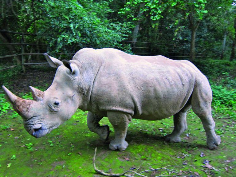 Ελπίδες να σωθεί το είδος του λευκού ρινόκερου   tanea.gr