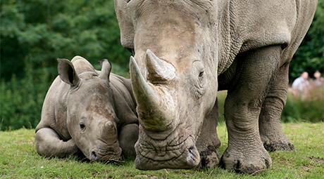 Υβριδικά έμβρυα θα σώσουν τους λευκούς ρινόκερους | tanea.gr