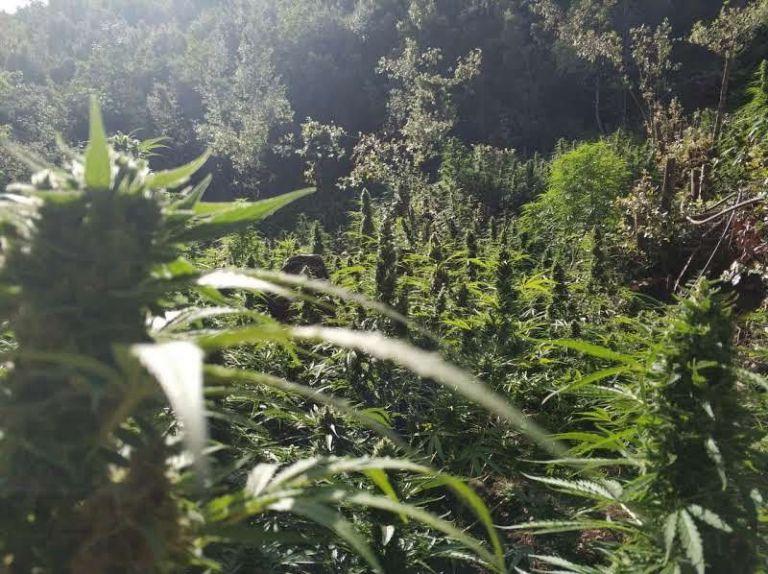Εντοπίστηκαν τρεις φυτείες χασίς στο Ρέθυμνο | tanea.gr