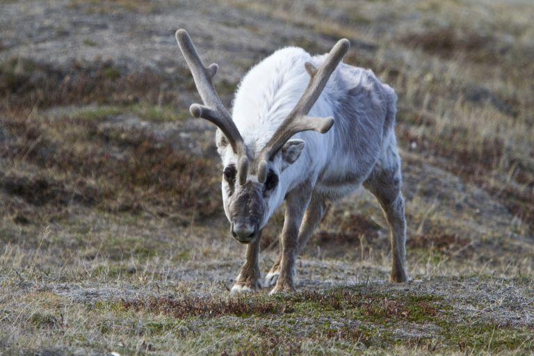 Νορβηγία: Οι τάρανδοι αναζητούν δροσιά στις σήραγγες | tanea.gr