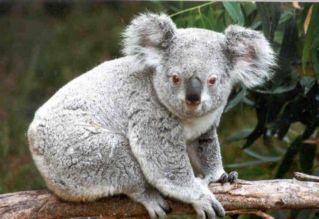 Αυστραλία: Κόβουν τα δέντρα και τα κοάλα πεθαίνουν από την πείνα   tanea.gr