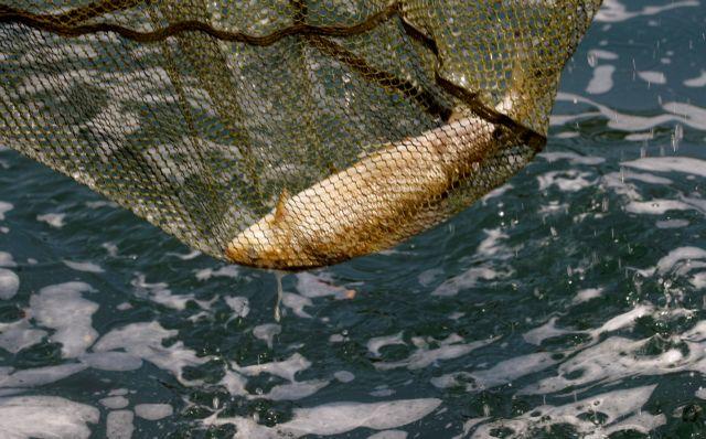 Με αφανισμό κινδυνεύουν τα ψάρια στον Ρήνο   tanea.gr