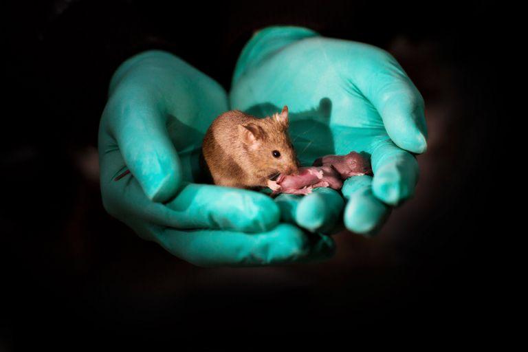 Κι όμως δημιουργήθηκαν υγιή ποντίκια από γονείς του ιδίου φύλου | tanea.gr