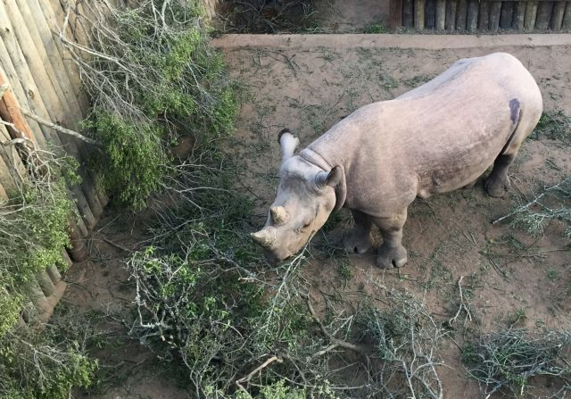 Πέθαναν οι τέσσερις από τους έξι μαύρους ρινόκερους στο Τσαντ | tanea.gr