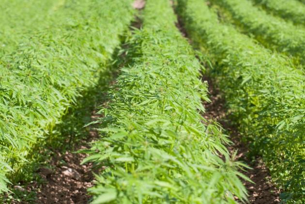 Δουλειές με... φούντες: Ξεκινούν 14 επενδύσεις για καλλιέργεια κάνναβης | tanea.gr