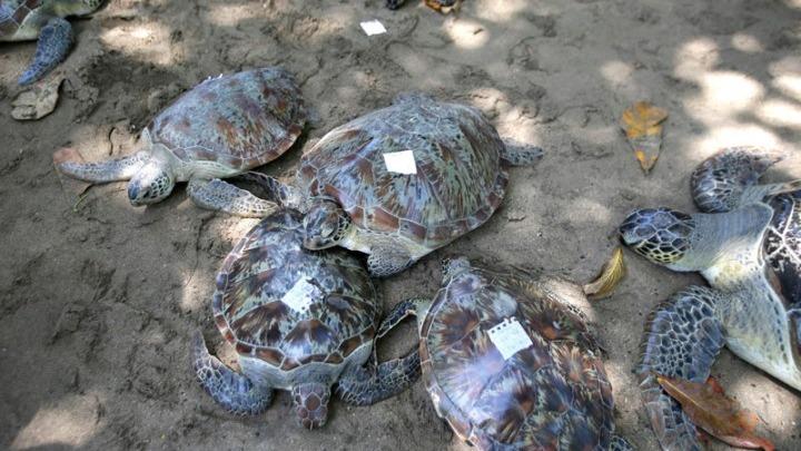 Ινδονησία: Εθελοντές διέσωσαν θαλάσσιες χελώνες που ξεβράστηκαν μετά το τσουνάμι   tanea.gr