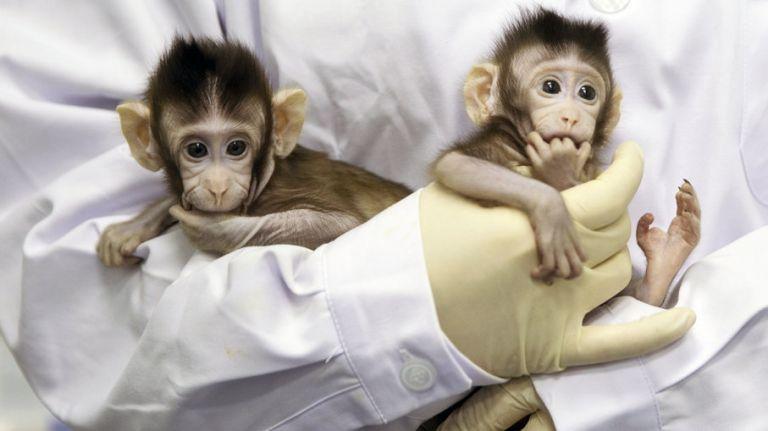 Κλωνοποιημένες μαϊμούδες ανοίγουν το δρόμο στη θεραπεία νευροψυχικών διαταραχών   tanea.gr