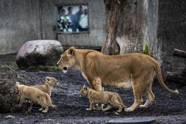 Τσεχία: Λιοντάρι επιτέθηκε και κατασπάραξε τον ιδιοκτήτη του | tanea.gr