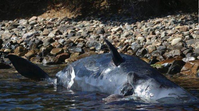 Εκβράστηκε έγκυος φάλαινα που είχε καταπιεί 22 κιλά πλαστικών | tanea.gr