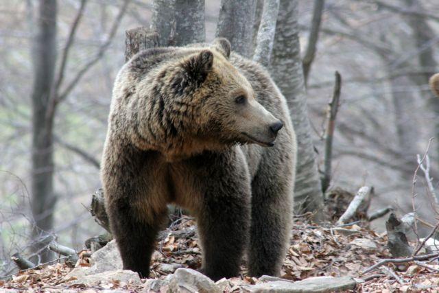 Ζωντανός από θαύμα άνδρας - αιχμάλωτος αρκούδας για 30 μέρες | tanea.gr