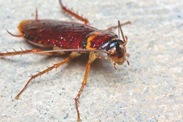 Κατσαρίδες αναπτύσσουν συνεχώς μεγαλύτερη ανοσία στα εντομοκτόνα   tanea.gr