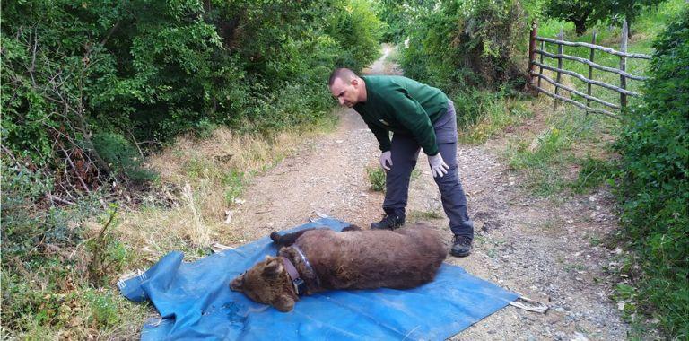 Ο Ερμής σώθηκε από παράνομη παγίδα για αρκούδες | tanea.gr