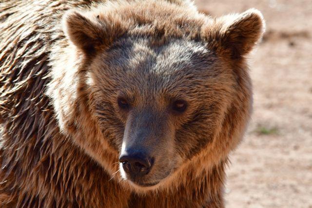 Απρόσμενη εμφάνιση αρκούδας σε χωριό της Κοζάνης   tanea.gr