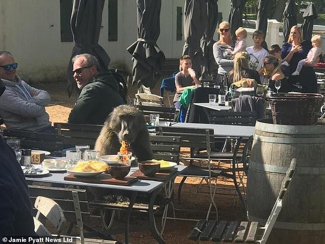 Μπαμπουίνος τους έδιωξε από το τραπέζι για να φάει τη μακαρονάδα τους | tanea.gr