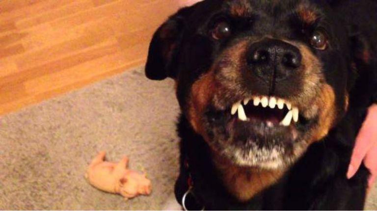 Ροτβάιλερ: Πιστά σκυλιά αλλά και επικίνδυνα για τους ανθρώπους   tanea.gr