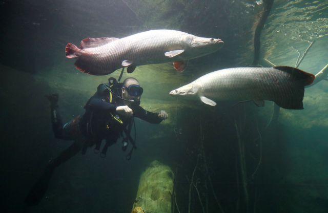 Αραπάιμα, το ψάρι του Αμαζονίου με την... πανοπλία που το σώζει από τα πιράνχας | tanea.gr